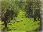 Crece el olivar ecológico en Jaén.