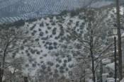 olivar con nieve