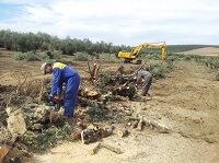 arrancado de olivos