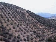 olivar de pendiente ayuda agroambiental