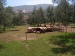 La Cubierta vegetal del olivar y su cuidado