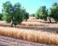 Olivar y cebada sembrada