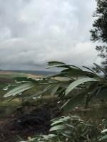 El olivar y la lluvia