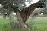 Tronco olivar tradicional