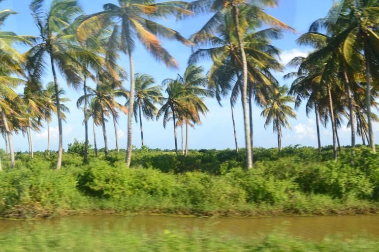 Coconut Farm in Berbice