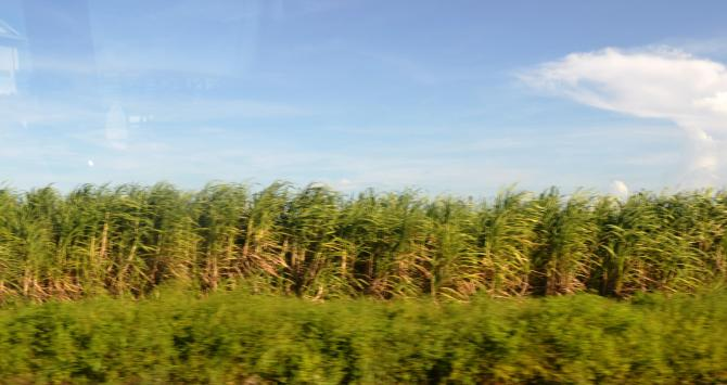 Sugarcane growing in Berbice
