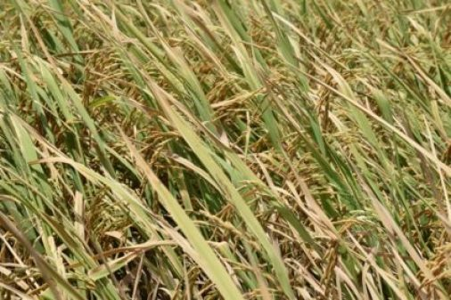 Aromatic rice just before harvesting. The Guyana Rice Development Board (GRDB) is intensifying efforts to produce this variety.