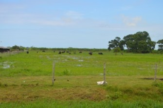 Cows grazing in an open pasture.
