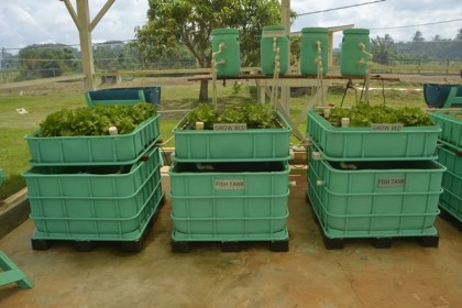 Lettuce grown by aquaponics Satyadeow Sawh Aquaculture Station.