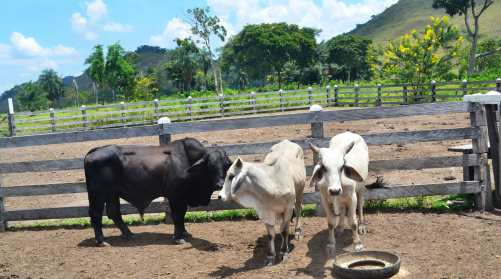 The breeding bulls that were acquired