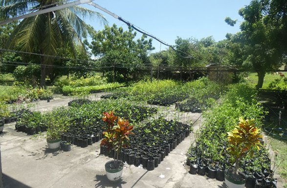The plant nursery at St. Ignatius, which supplies all villages with seedlings