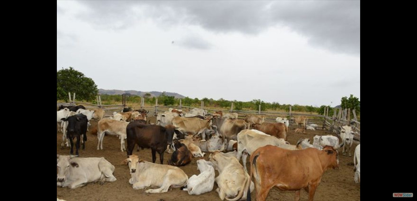 Cattle ranching at Meriwau, Region Nine