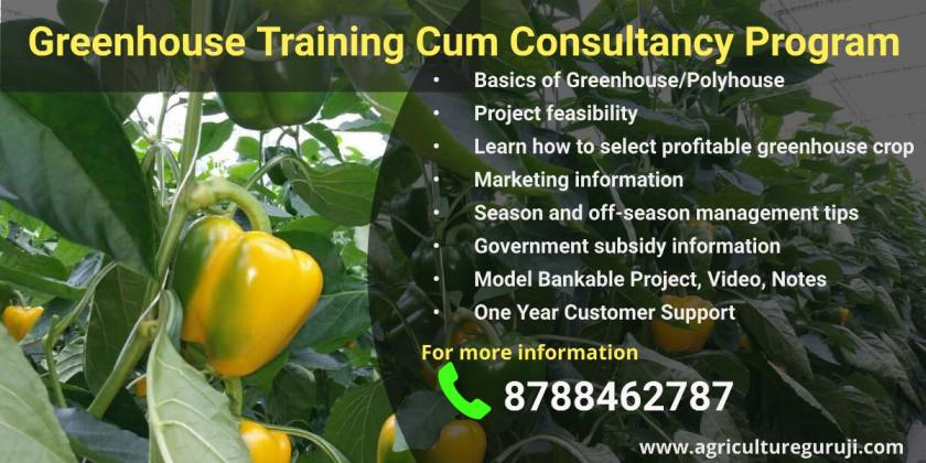 Capsicum cultivation in polyhouse 1
