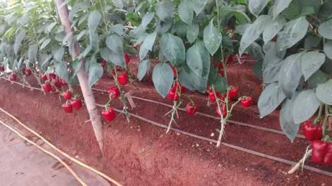 Capsicum Cultivation