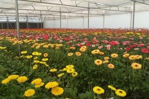 gerbera cultivation economic