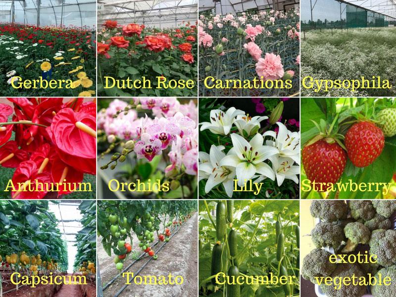 Top profitable crop grow in greenhouse