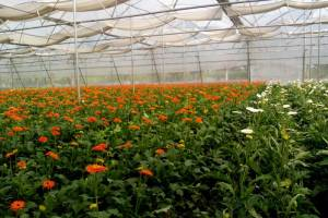 gerbera cultivation