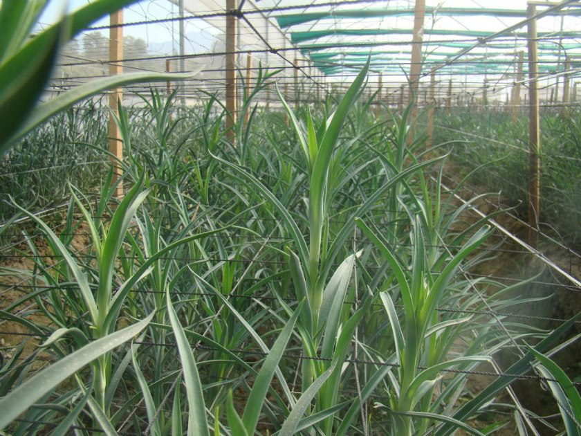 carnation cultivation in polyhouse