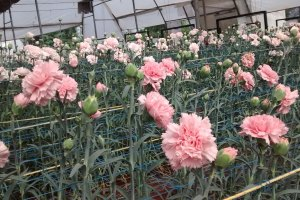 carnation cultivation