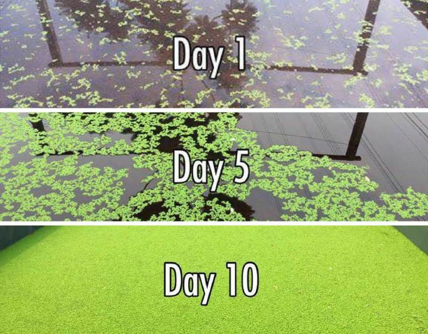 azolla growth