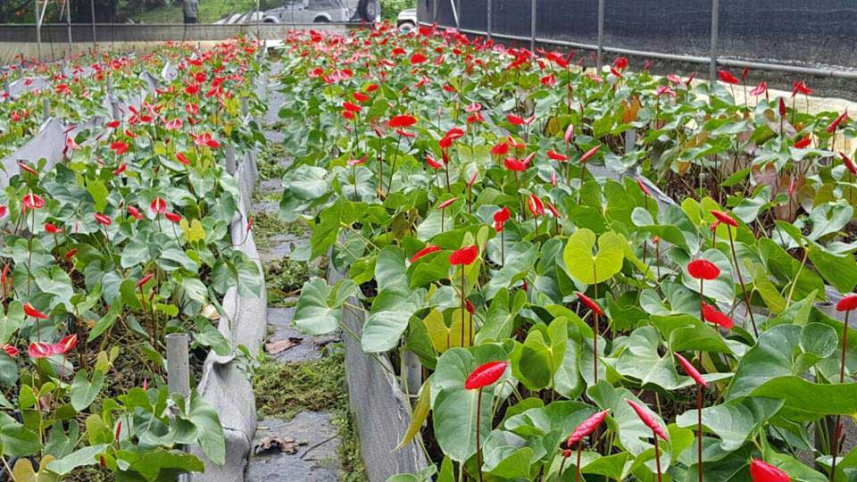 Cultural practices of anthurium cultivation