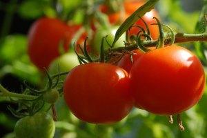 tomato cultivation