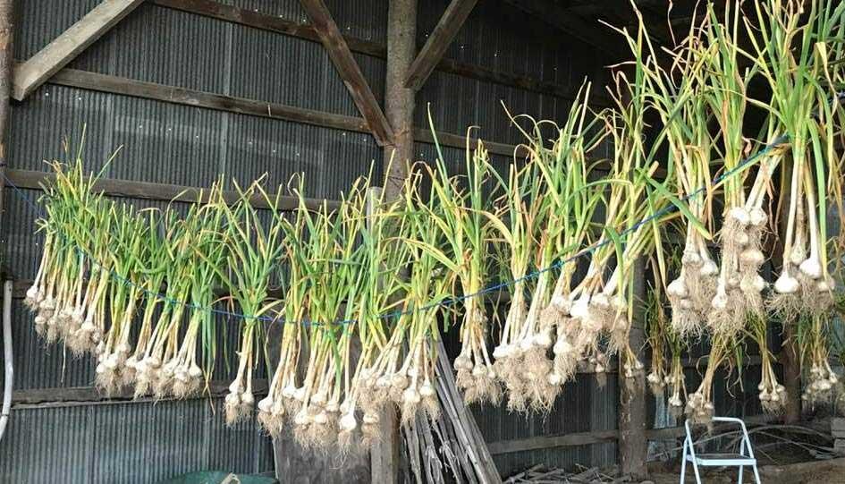 garlic-Storage