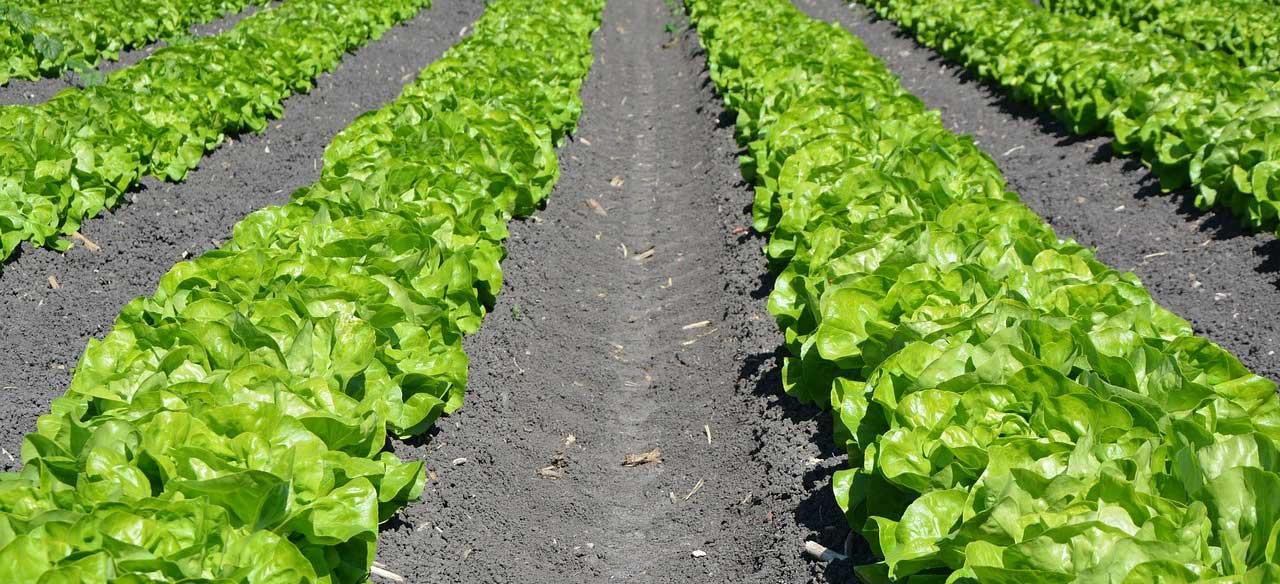 lettuce Planting