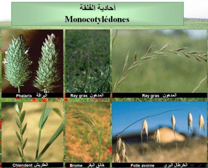Monocotylédone ( Graminées) (الاعشاب الضارة أحادية الفلقة (النجيليات