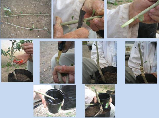 Etape de greaffage des oléastres en Photo