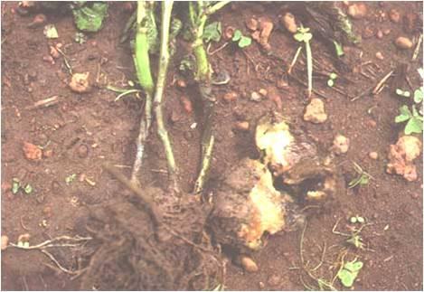 LA POURRITURE BACTERIENNE AQUEUSE Erwinia chrysanthemi المسبب المرضي الساق السوداء و التعفن البكتيري المائي