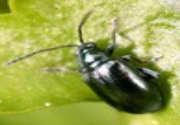 حشرة النطاط