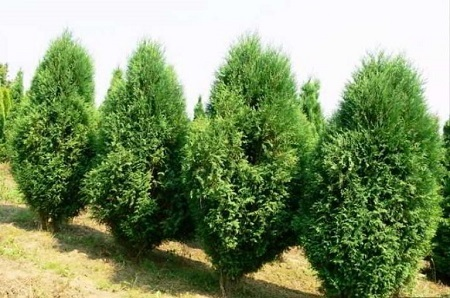 Thuja Orientalis شجرة التويا