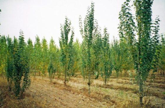 populus spp شجرة الحور