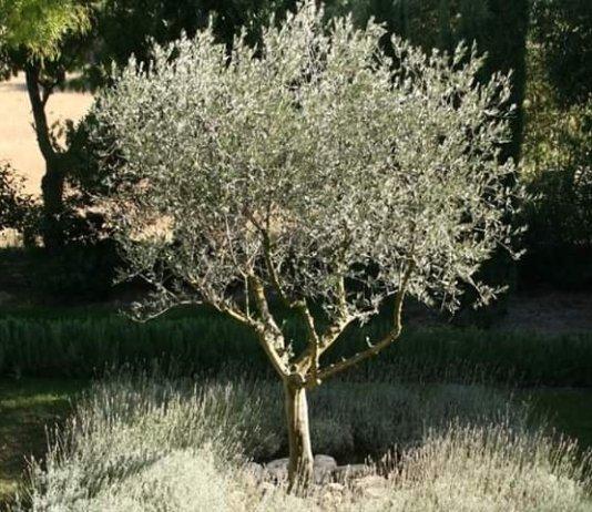 طرق و فوائد تقليم اشجار الزيتون