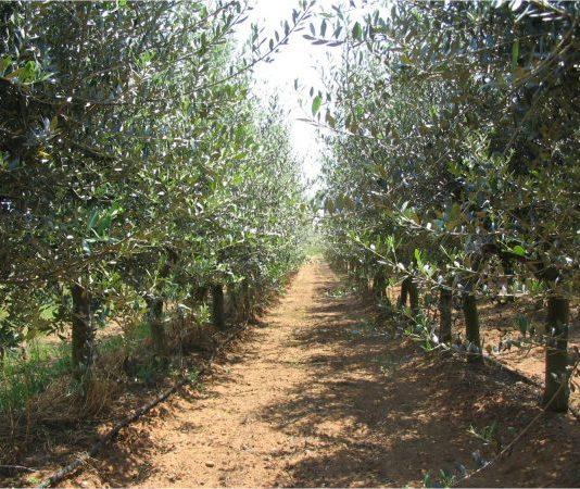برنامج غراسة و زراعة الزيتون