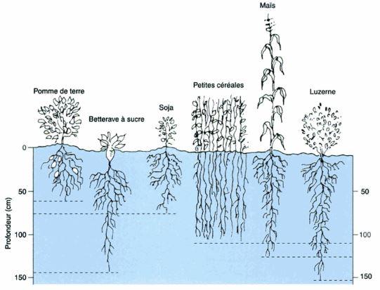 Schéma de la distribution de racine des plantes