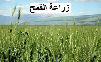 المتابعة التقنية لبرنامج زراعة القمح لتحقيق كمية و نوعية معتبرة في الإنتاج