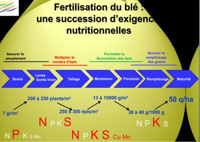 fertilisation du blé