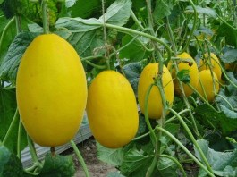 زراعة البطيخ الأصفر