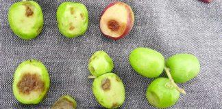 خطورة عفن ثمار الزيتون