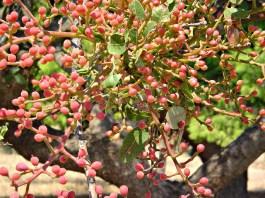 الظروف البيئية والمناخية المناسبة لزراعة شجر الفستق