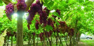 Petite Analyse de la Situation de la Viticulture en Algérie