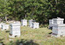 تقوية الطوائف الخلايا النحل الضعيفة