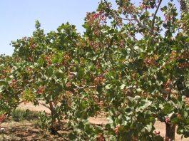 معلومات عن شجرة الفستق الحلبي