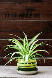 Spider plant in a container