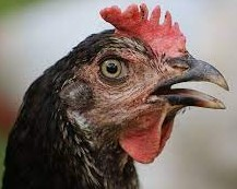 Chicken breathing with open mouth