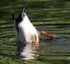 Duck submerging