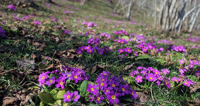 Fındık bahçelerinde baharın müjdecisi menekşeler açmaya başladı
