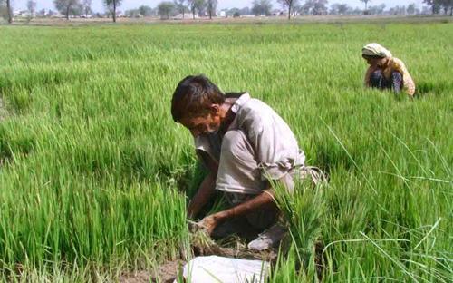 How multinational seeds companies exploite farmers?